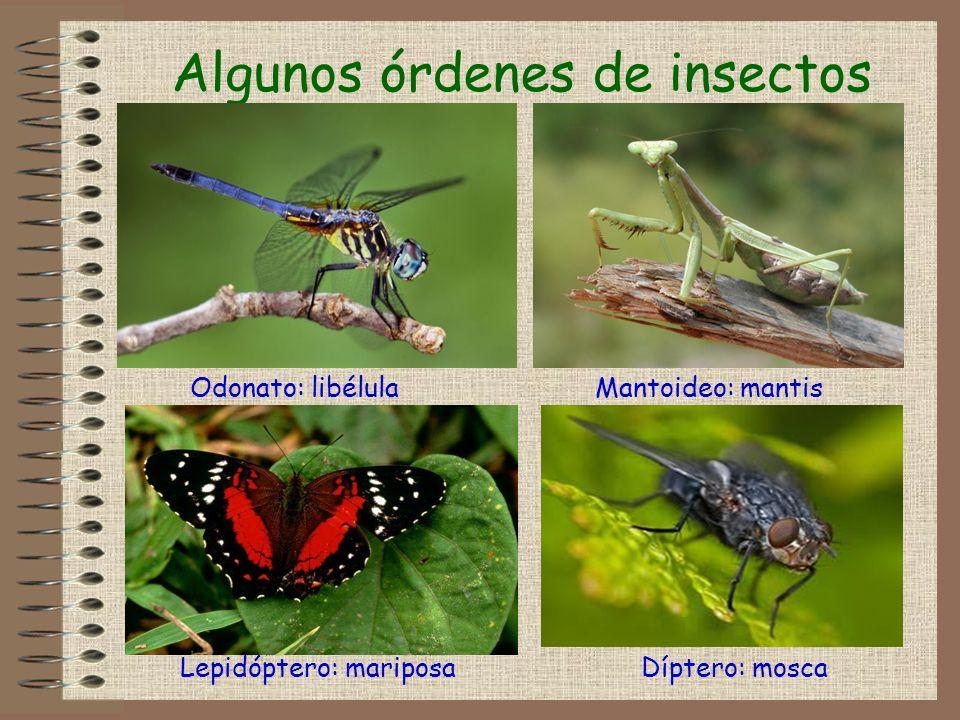 Algunos órdenes de insectos Odonato: libélulaMantoideo: mantis Díptero: moscaLepidóptero: mariposa