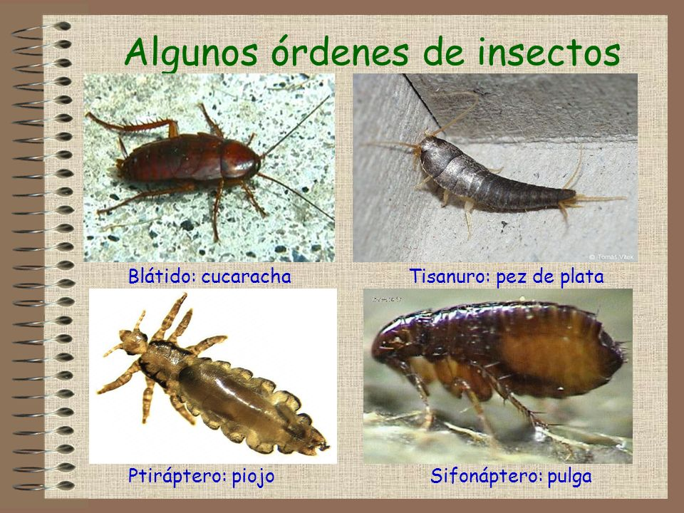 Algunos órdenes de insectos Blátido: cucarachaTisanuro: pez de plata Sifonáptero: pulgaPtiráptero: piojo