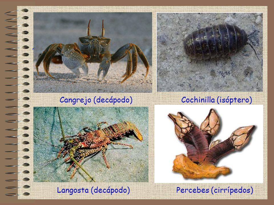 Percebes (cirrípedos) ! Cangrejo (decápodo)Cochinilla (isóptero) Langosta (decápodo)