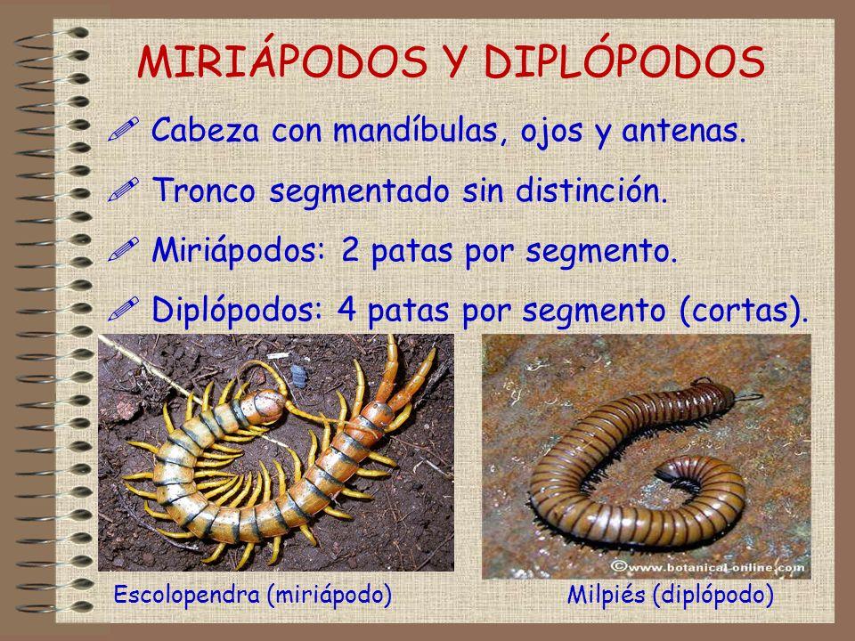 ! Cabeza con mandíbulas, ojos y antenas. ! Tronco segmentado sin distinción. ! Miriápodos: 2 patas por segmento. ! Diplópodos: 4 patas por segmento (c