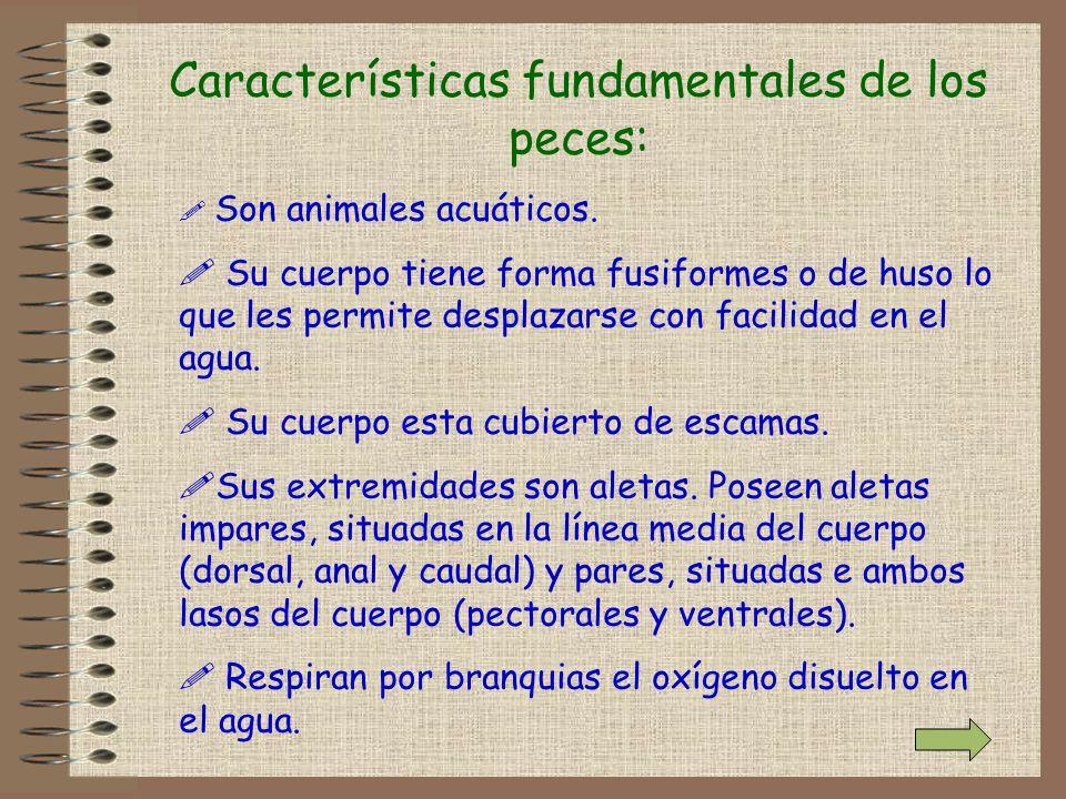Características fundamentales de los peces: ! Son animales acuáticos. ! Su cuerpo tiene forma fusiformes o de huso lo que les permite desplazarse con