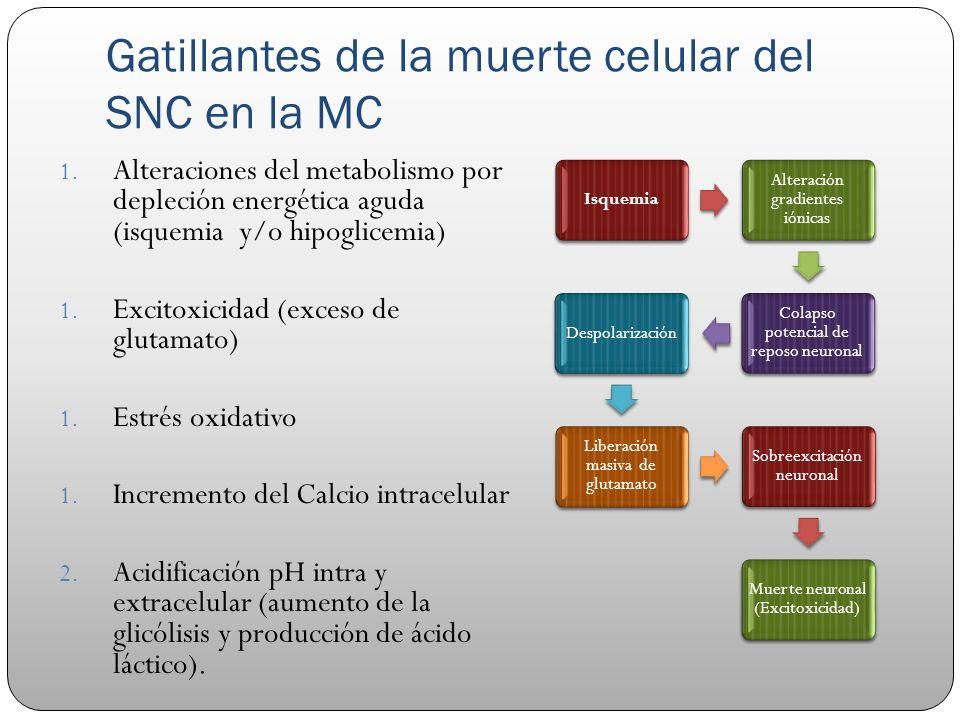Gatillantes de la muerte celular del SNC en la MC 1. Alteraciones del metabolismo por depleción energética aguda (isquemia y/o hipoglicemia) 1. Excito