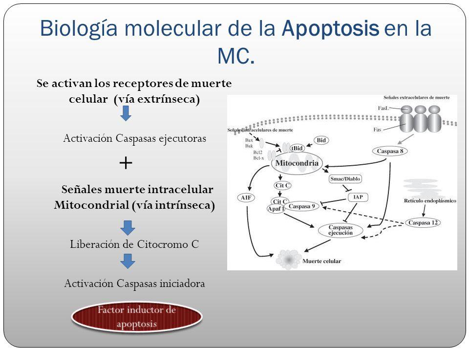 Biología molecular de la Apoptosis en la MC. Se activan los receptores de muerte celular (vía extrínseca) Activación Caspasas ejecutoras + Señales mue