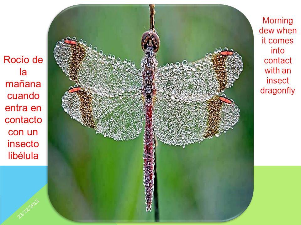 Rocío de la mañana cuando entra en contacto con un insecto libélula Morning dew when it comes into contact with an insect dragonfly 23/12/2013