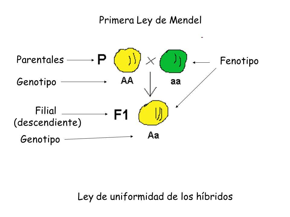 Primera Ley de Mendel Ley de uniformidad de los híbridos Parentales Genotipo Filial (descendiente) Genotipo Fenotipo