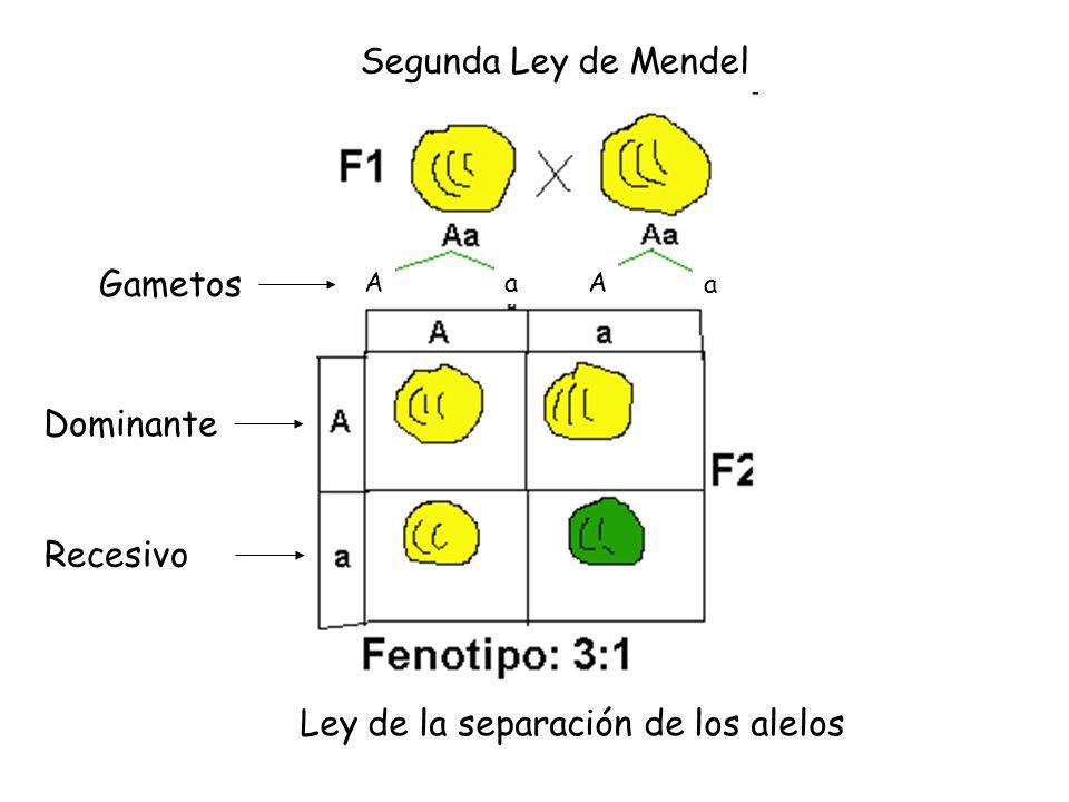 Segunda Ley de Mendel Ley de la separación de los alelos AAa a Gametos Dominante Recesivo
