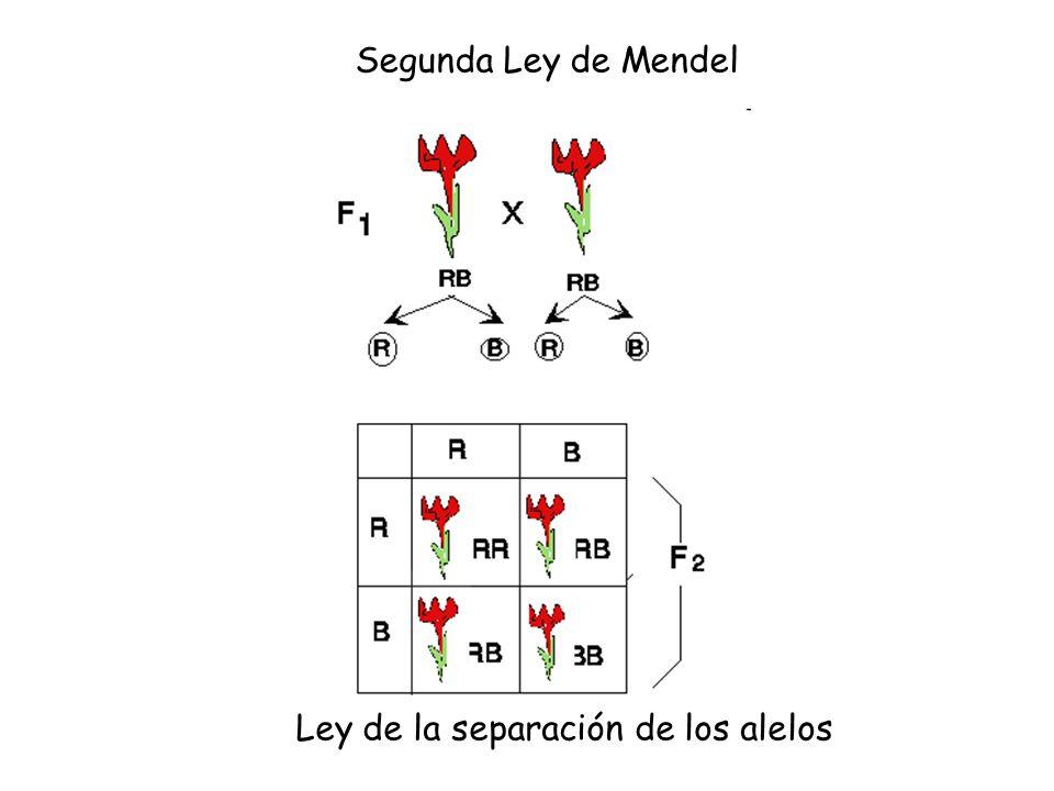 Segunda Ley de Mendel Ley de la separación de los alelos