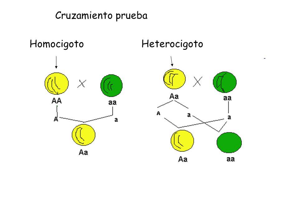 Cruzamiento prueba Homocigoto Heterocigoto
