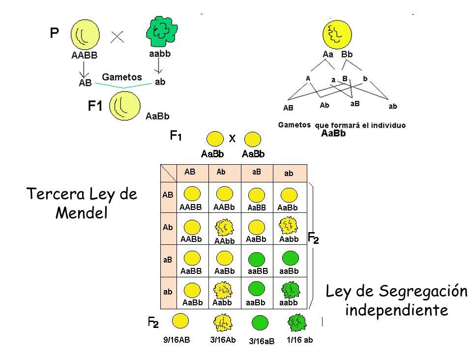Tercera Ley de Mendel Ley de Segregación independiente
