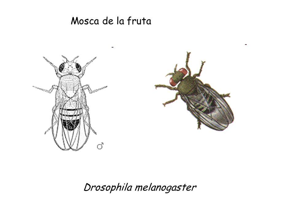 Mosca de la fruta Drosophila melanogaster