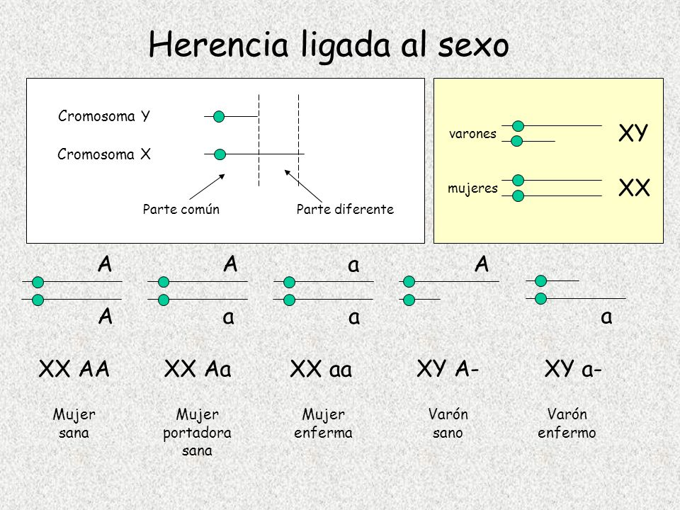 Herencia ligada al sexo Cromosoma X Cromosoma Y Parte comúnParte diferente varones mujeres XY XX A A XX AA Mujer sana A a XX Aa Mujer portadora sana a