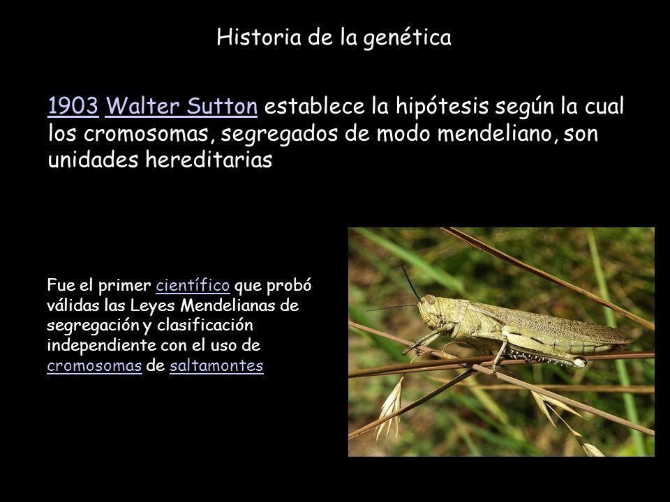 Historia de la genética 19031903 Walter Sutton establece la hipótesis según la cual los cromosomas, segregados de modo mendeliano, son unidades heredi