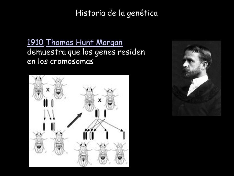 Historia de la genética 19101910 Thomas Hunt Morgan demuestra que los genes residen en los cromosomasThomas Hunt Morgan