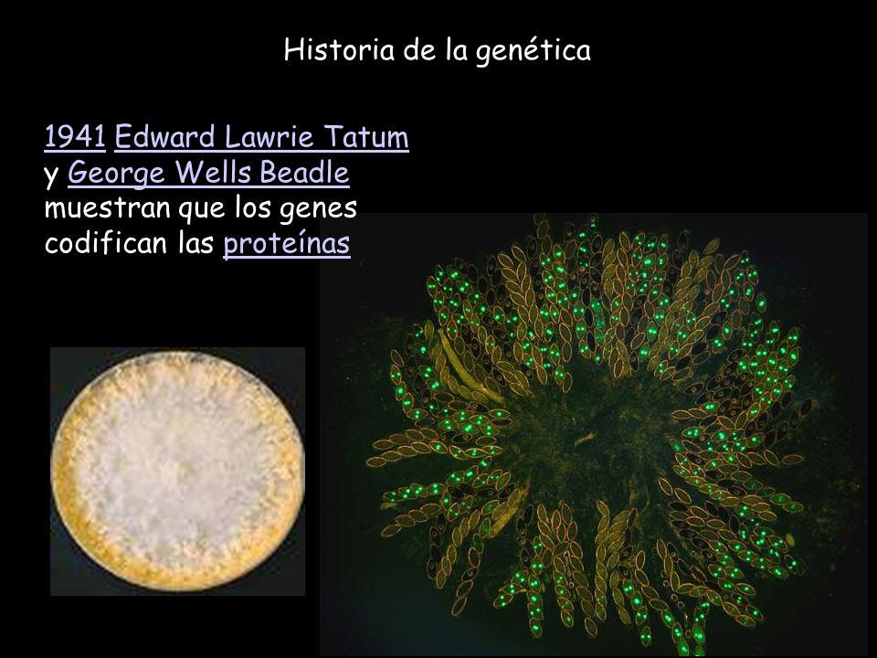 Historia de la genética 19411941 Edward Lawrie Tatum y George Wells Beadle muestran que los genes codifican las proteínasEdward Lawrie TatumGeorge Wel