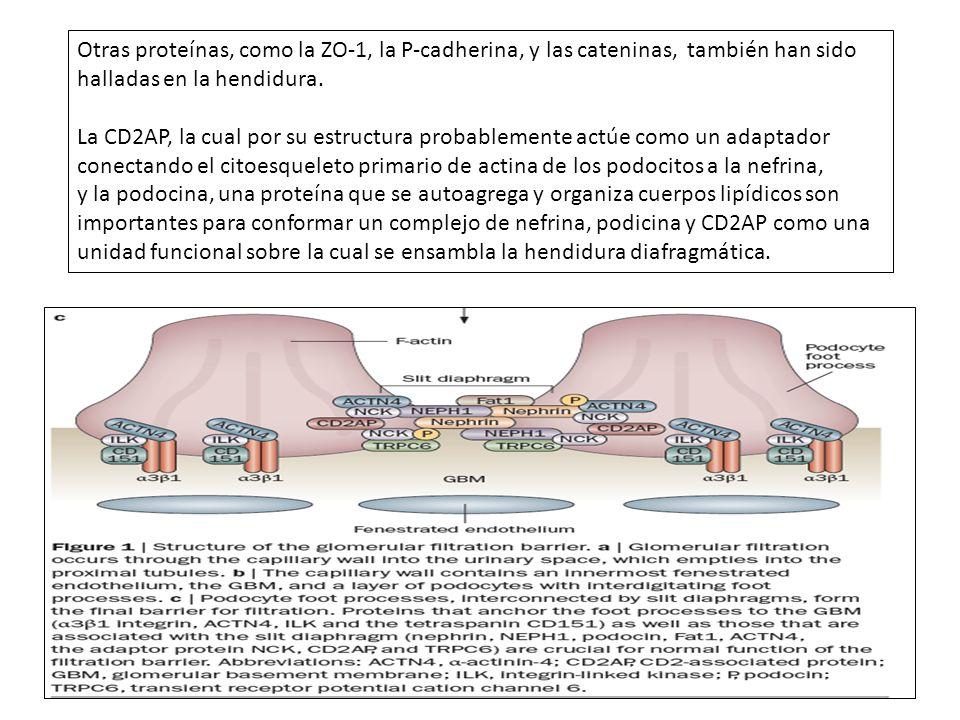 Otras proteínas, como la ZO-1, la P-cadherina, y las cateninas, también han sido halladas en la hendidura. La CD2AP, la cual por su estructura probabl