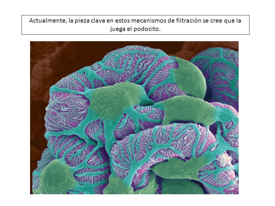 A lo largo de la barrera de filtración, el filtrado primero sortea los poros o fenestras del endotelio glomerular, luego a través de la malla altamente hidratada de colágeno de la membrana basal compuesta de colágeno tipo IV altamente entrecruzado, laminina, nidógeno, y proteoglicanos, y finalmente, a través de las hendiduras diafragmáticas que son complejas estructuras establecidas y ancladas entre las caras laterales de los pedicelos.
