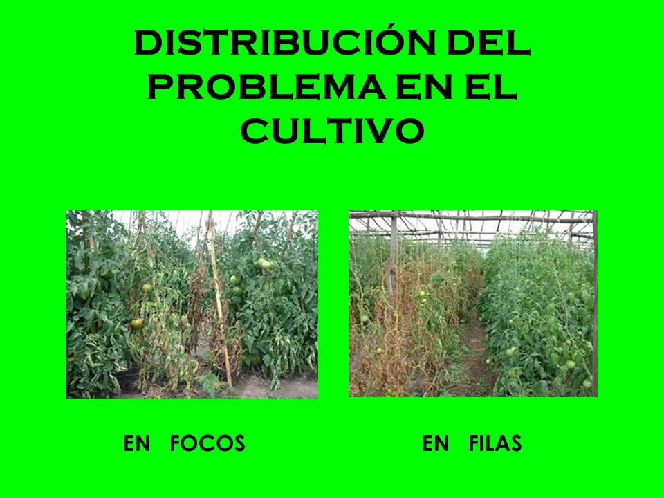 DISTRIBUCIÓN DEL PROBLEMA EN EL CULTIVO EN FOCOSEN FILAS
