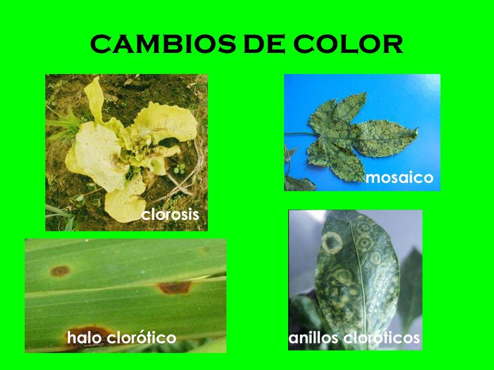 Estar familiarizado con el cultivo afectado.Conocer los ambientes aéreos y edáficos locales.