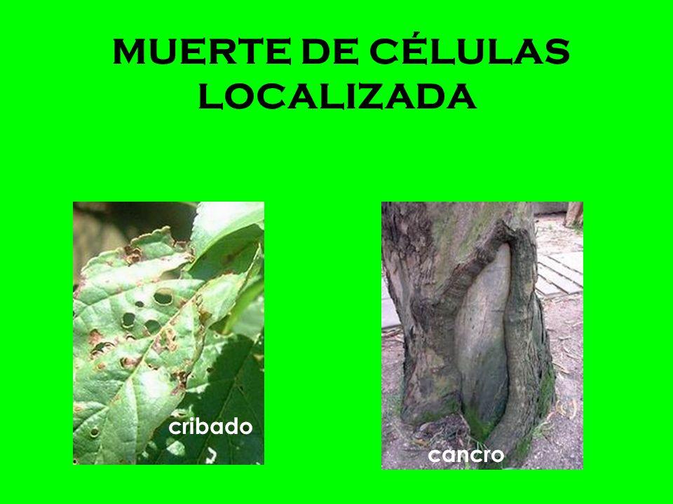 MUERTE DE CÉLULAS LOCALIZADA manchas necróticas