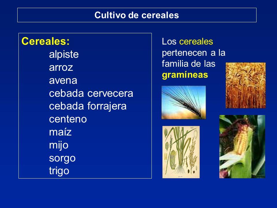 Cereales: alpiste arroz avena cebada cervecera cebada forrajera centeno maíz mijo sorgo trigo Cultivo de cereales Los cereales pertenecen a la familia de las gramíneas