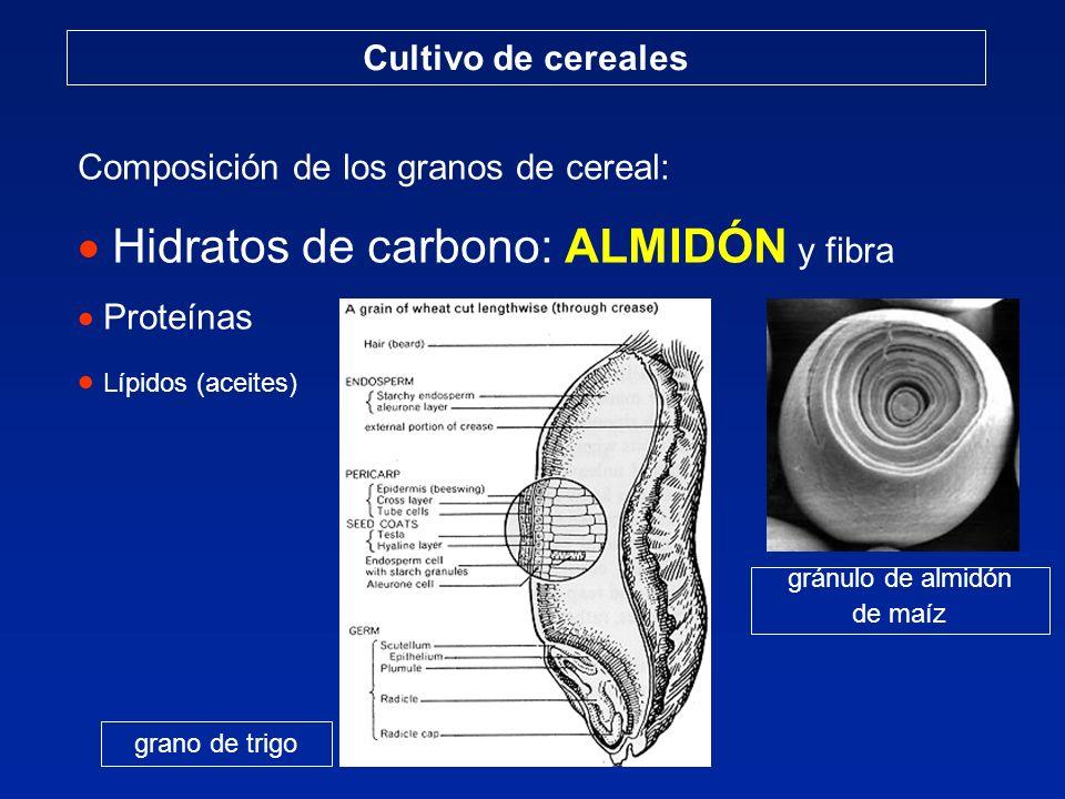 Cultivo de cereales Composición de los granos de cereal: Hidratos de carbono: ALMIDÓN y fibra Proteínas Lípidos (aceites) grano de trigo gránulo de al