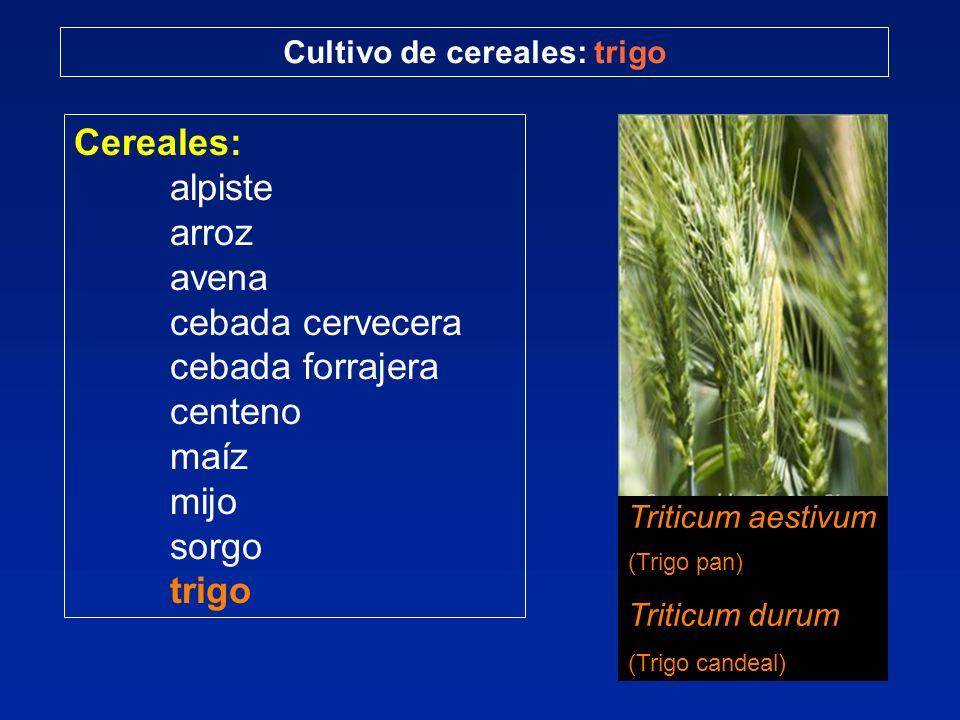 Cereales: alpiste arroz avena cebada cervecera cebada forrajera centeno maíz mijo sorgo trigo Cultivo de cereales: trigo Triticum aestivum (Trigo pan) Triticum durum (Trigo candeal)