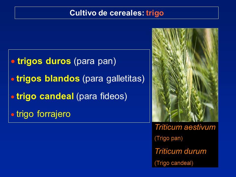 trigos duros (para pan) trigos blandos (para galletitas) trigo candeal (para fideos) trigo forrajero Cultivo de cereales: trigo Triticum aestivum (Tri