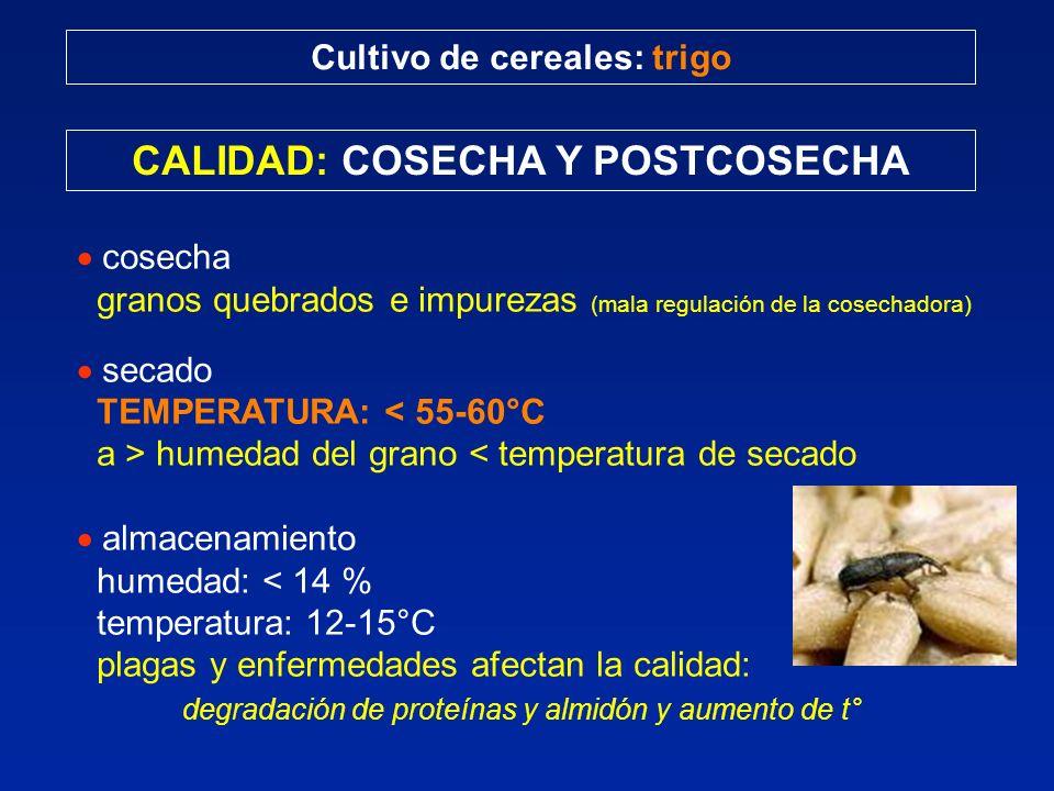 Cultivo de cereales: trigo CALIDAD: COSECHA Y POSTCOSECHA cosecha granos quebrados e impurezas (mala regulación de la cosechadora) secado TEMPERATURA: