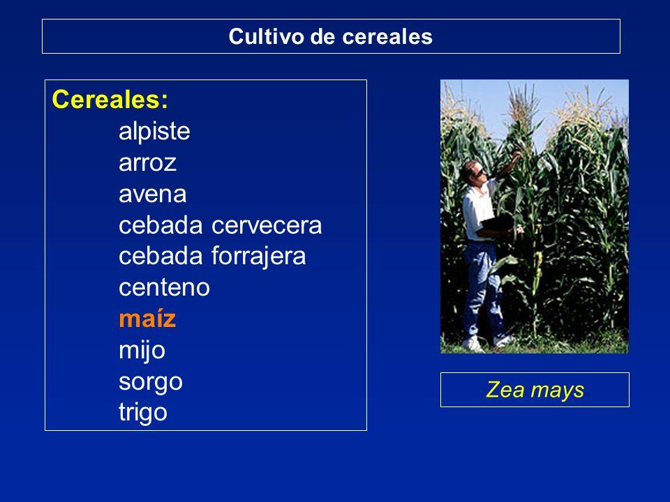 Cereales: alpiste arroz avena cebada cervecera cebada forrajera centeno maíz mijo sorgo trigo Cultivo de cereales Zea mays