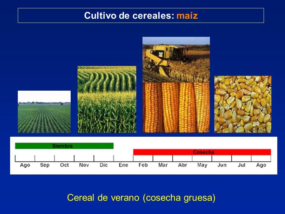 Cereal de verano (cosecha gruesa)