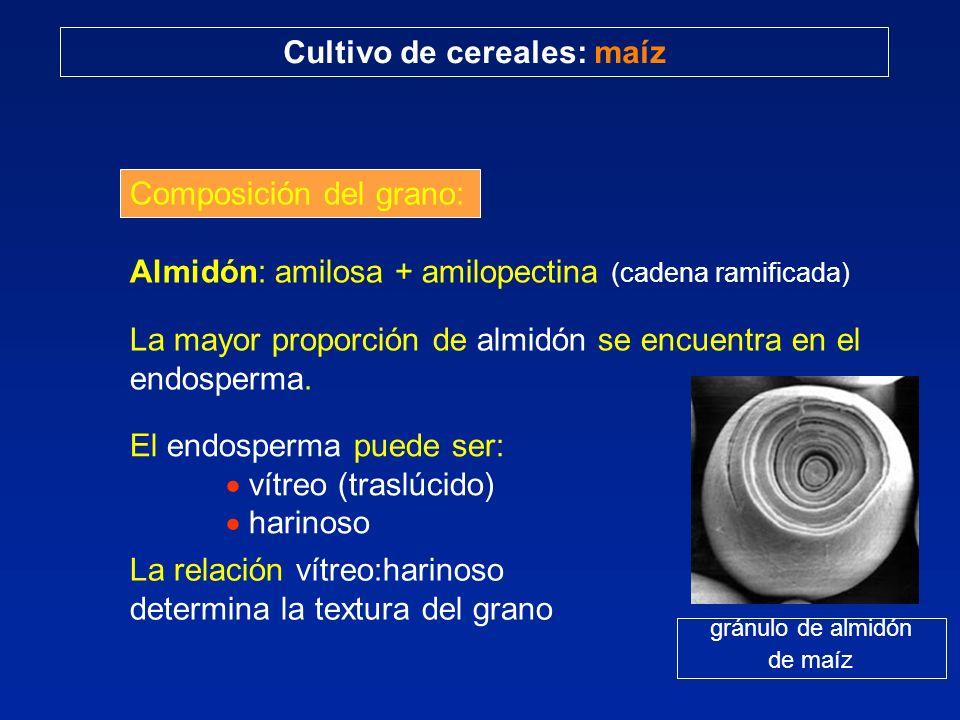Composición del grano: Almidón: amilosa + amilopectina (cadena ramificada) La mayor proporción de almidón se encuentra en el endosperma. gránulo de al