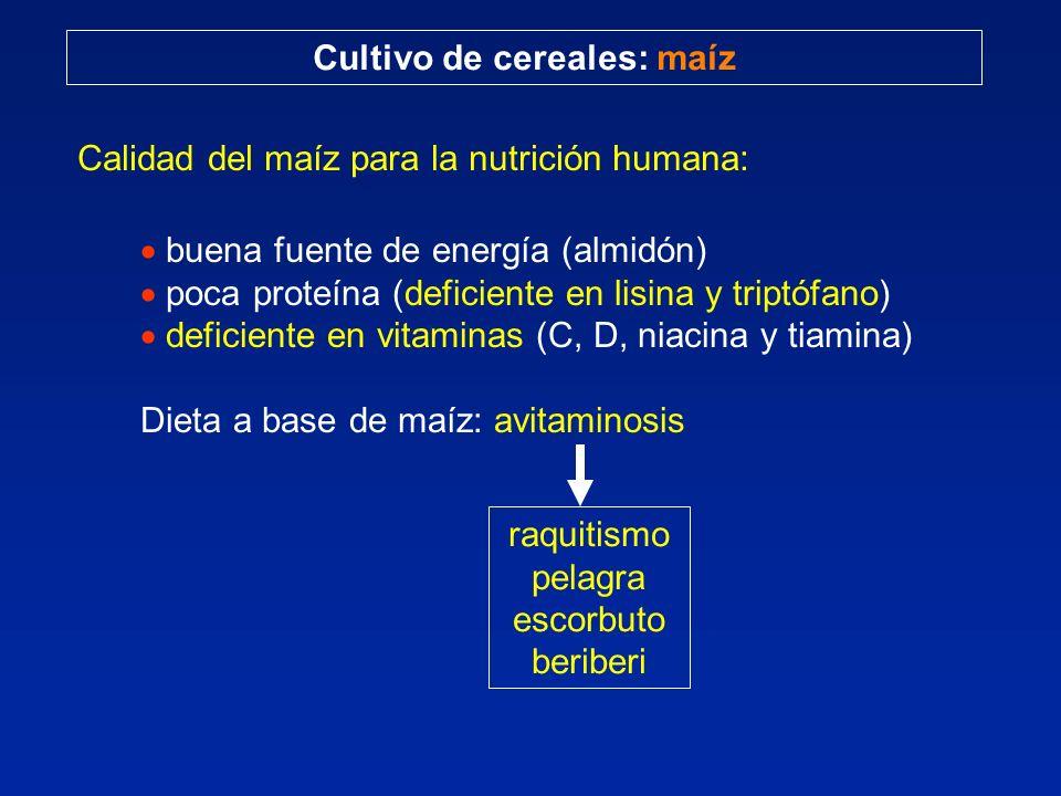 Cultivo de cereales: maíz Calidad del maíz para la nutrición humana: buena fuente de energía (almidón) poca proteína (deficiente en lisina y triptófan