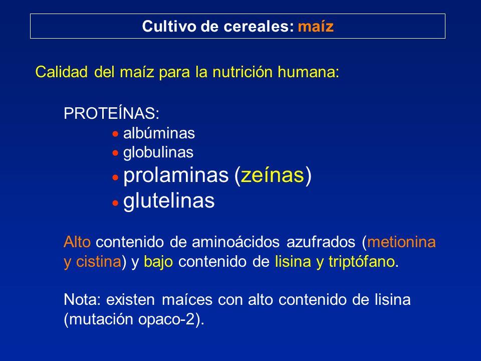 Cultivo de cereales: maíz Calidad del maíz para la nutrición humana: PROTEÍNAS: albúminas globulinas prolaminas (zeínas) glutelinas Alto contenido de