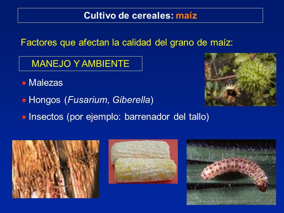 Cultivo de cereales: maíz Factores que afectan la calidad del grano de maíz: MANEJO Y AMBIENTE Malezas Hongos (Fusarium, Giberella) Insectos (por ejemplo: barrenador del tallo)