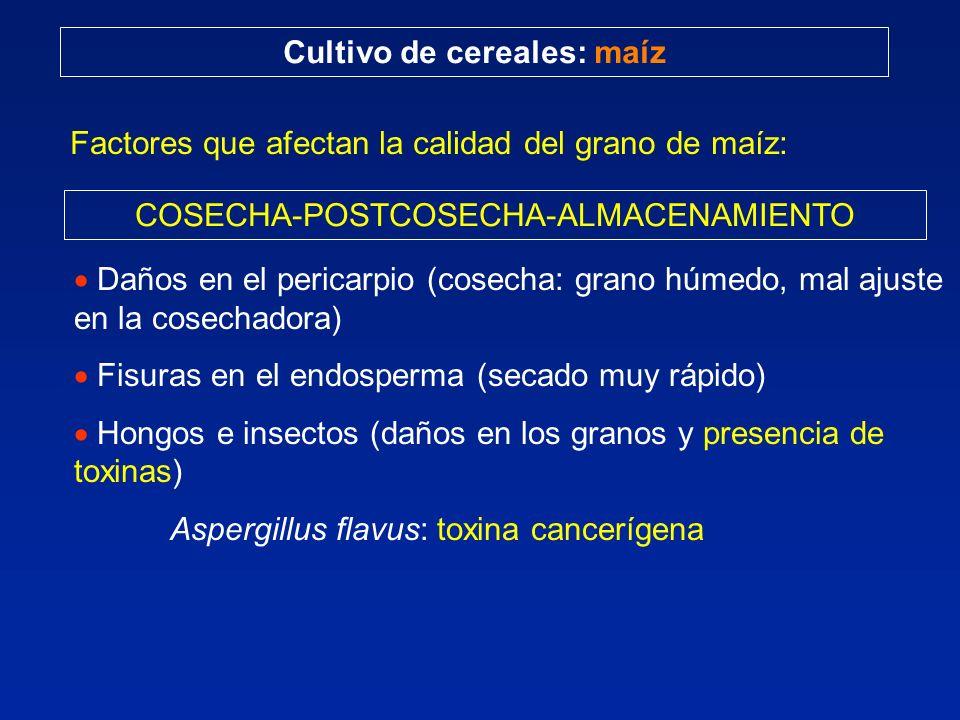 Cultivo de cereales: maíz Factores que afectan la calidad del grano de maíz: COSECHA-POSTCOSECHA-ALMACENAMIENTO Daños en el pericarpio (cosecha: grano húmedo, mal ajuste en la cosechadora) Fisuras en el endosperma (secado muy rápido) Hongos e insectos (daños en los granos y presencia de toxinas) Aspergillus flavus: toxina cancerígena