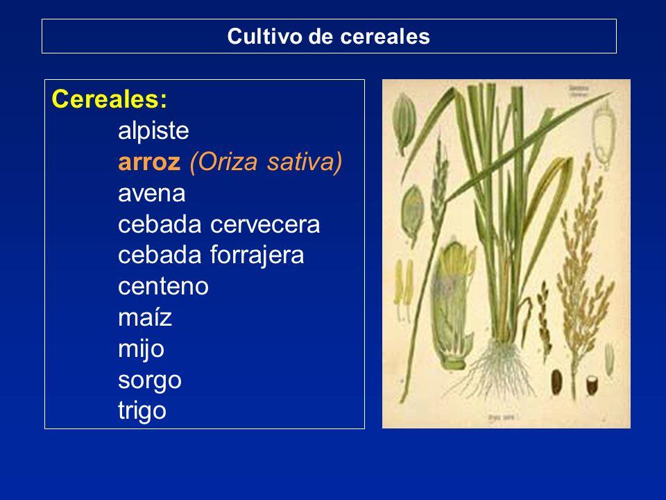 Cereales: alpiste arroz (Oriza sativa) avena cebada cervecera cebada forrajera centeno maíz mijo sorgo trigo Cultivo de cereales
