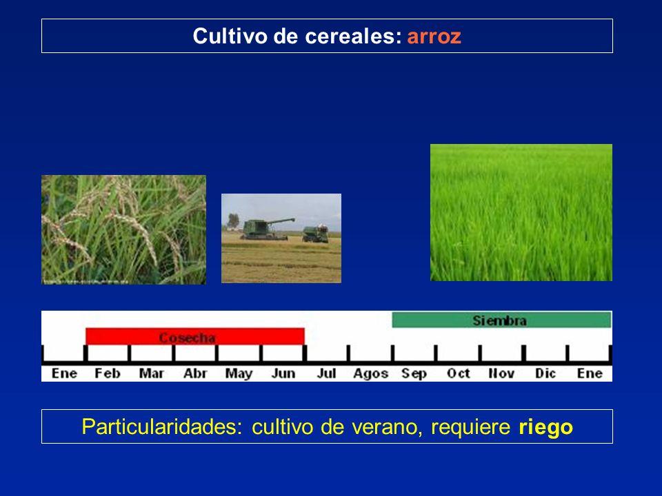 Particularidades: cultivo de verano, requiere riego