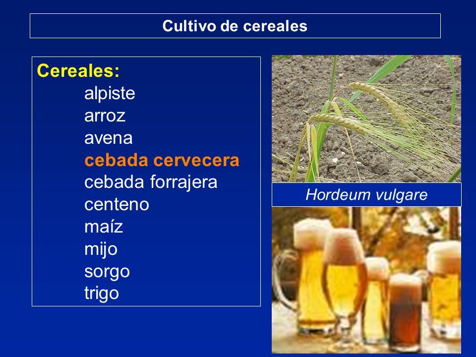 Cereales: alpiste arroz avena cebada cervecera cebada forrajera centeno maíz mijo sorgo trigo Cultivo de cereales Hordeum vulgare