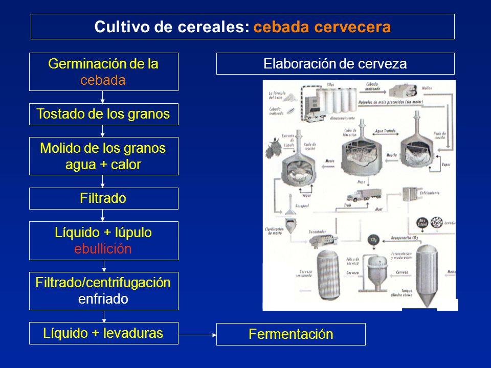 Cultivo de cereales: cebada cervecera Germinación de la cebada Tostado de los granos Molido de los granos agua + calor Filtrado Líquido + lúpulo ebullición Filtrado/centrifugación enfriado Líquido + levaduras Fermentación Elaboración de cerveza