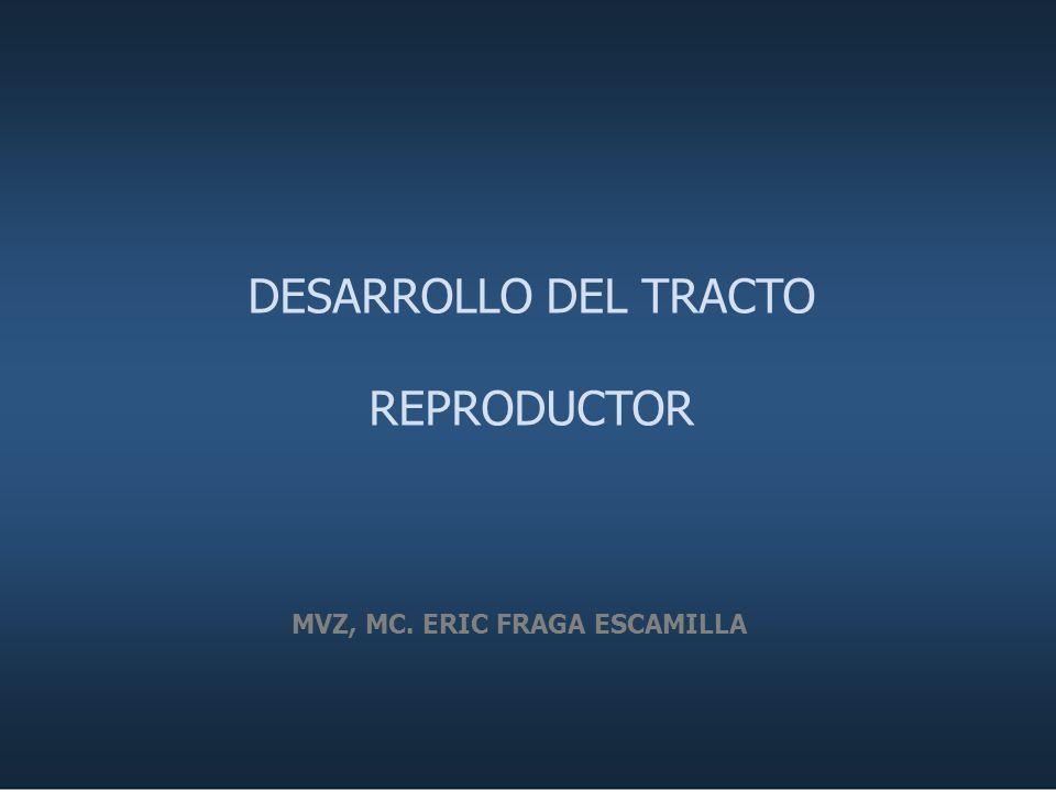 DESARROLLO DEL TRACTO REPRODUCTOR MVZ, MC. ERIC FRAGA ESCAMILLA
