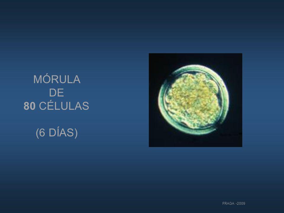 MÓRULA DE 80 CÉLULAS (6 DÍAS)