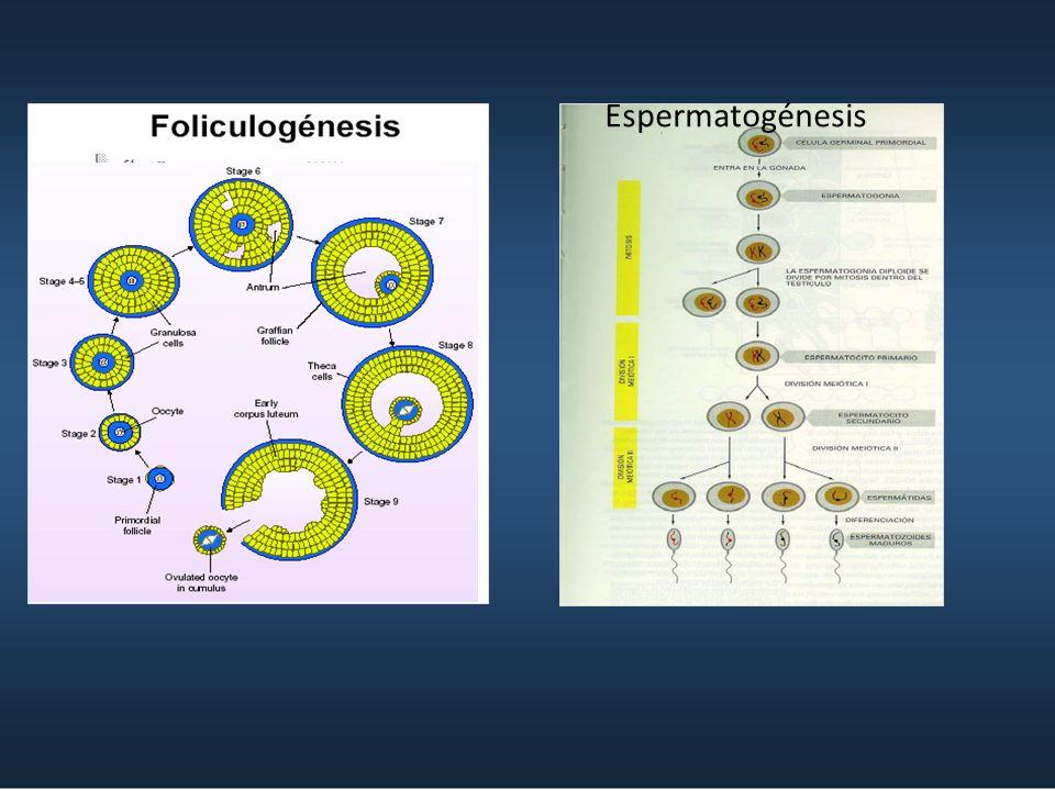BLASTOCISTO Célula más grande, 0.2 mm Alto nivel metabólico (Cél. retinal) FRAGA -2009 Retina