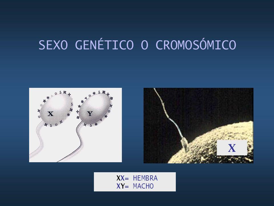SEXO GENÉTICO O CROMOSÓMICO X XX= HEMBRA XY= MACHO