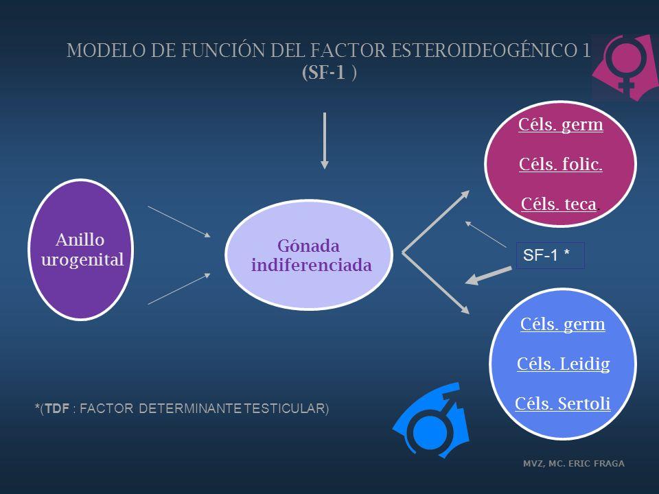 MVZ, MC. ERIC FRAGA MODELO DE FUNCIÓN DEL FACTOR ESTEROIDEOGÉNICO 1 (SF-1 ) Anillo urogenital Gónada indiferenciada Céls. germ Céls. folic. Céls. teca