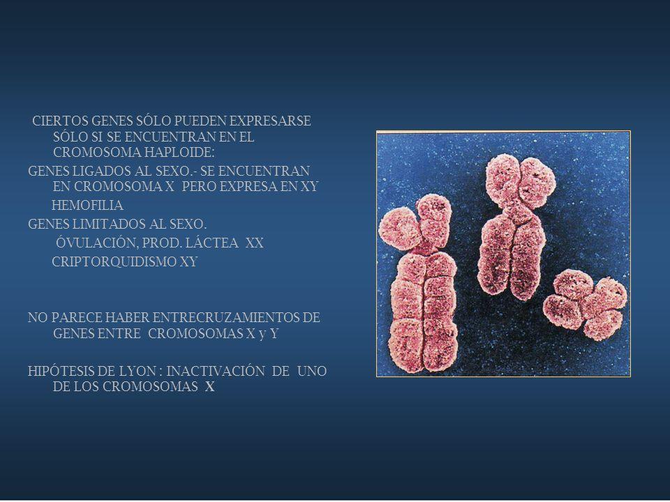 CIERTOS GENES SÓLO PUEDEN EXPRESARSE SÓLO SI SE ENCUENTRAN EN EL CROMOSOMA HAPLOIDE: GENES LIGADOS AL SEXO.- SE ENCUENTRAN EN CROMOSOMA X PERO EXPRESA