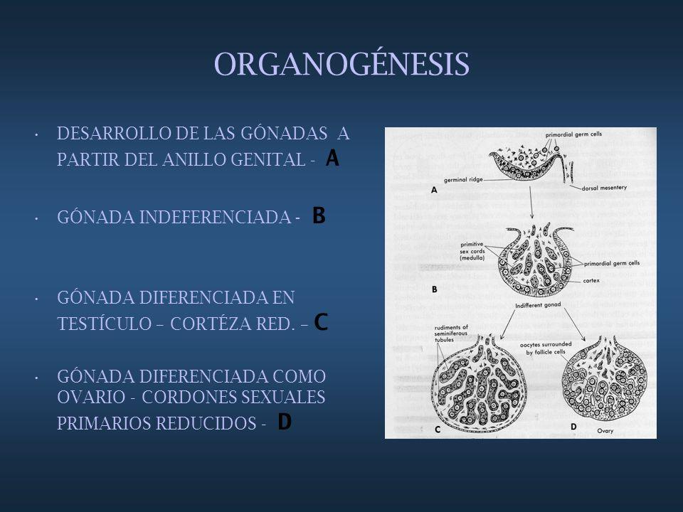 ORGANOGÉNESIS DESARROLLO DE LAS GÓNADAS A PARTIR DEL ANILLO GENITAL - A GÓNADA INDEFERENCIADA - B GÓNADA DIFERENCIADA EN TESTÍCULO – CORTÉZA RED. – C
