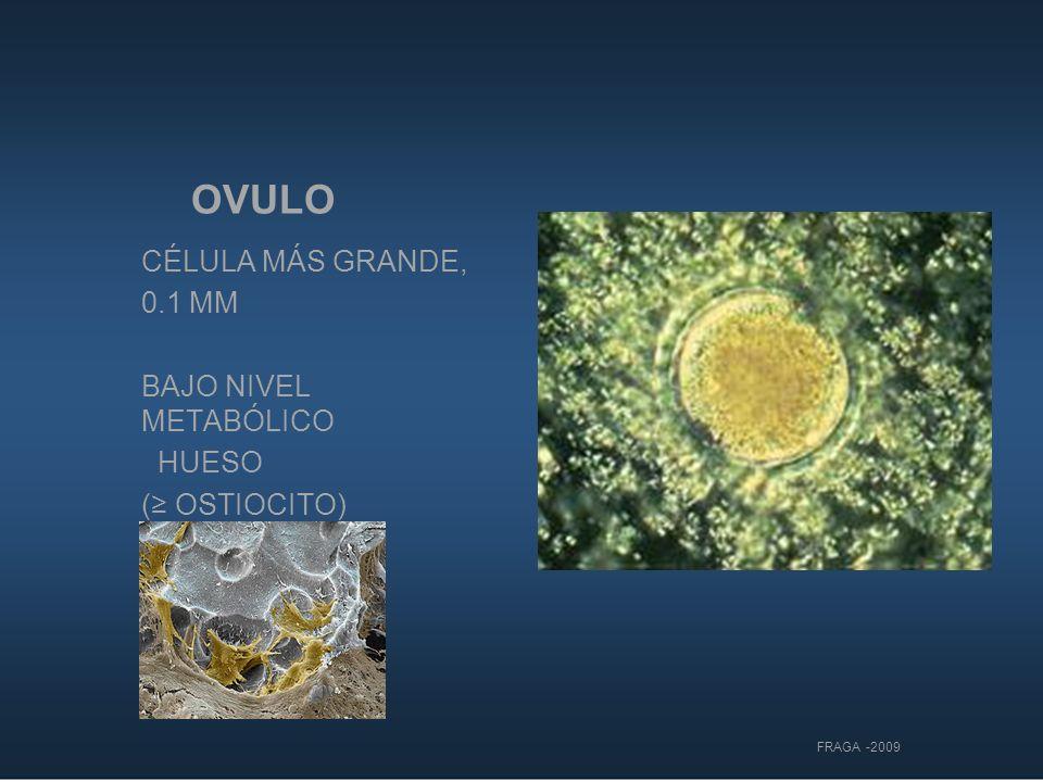 OVULO DENUDADO CÉLULA MÁS GRANDE DEL CUERPO MATERNO (0.1 MM ) LÌMITE DE VISIBILIDAD HUMANA POSEE INDIVIDUALIDAD SELECCIÒN ÙNICA DE GENES BAJO NIVEL METABÓLICO ( OSTIOCITO) FRAGA -2009