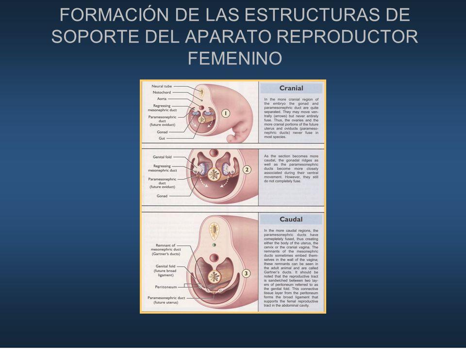 FORMACIÓN DE LAS ESTRUCTURAS DE SOPORTE DEL APARATO REPRODUCTOR FEMENINO