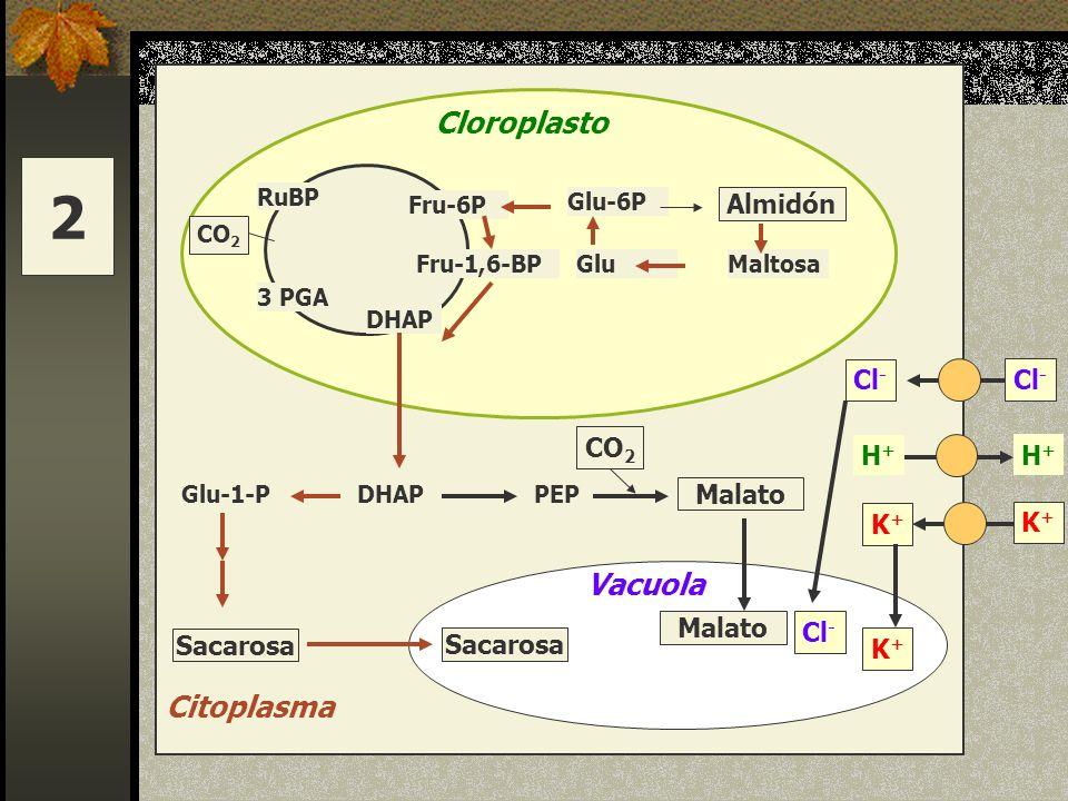Fru-6P RuBP CO 2 3 PGA DHAP Fru-1,6-BP Cloroplasto Glu-6P Almidón GluMaltosa DHAPPEPGlu-1-P Sacarosa Citoplasma CO 2 Sacarosa Vacuola Malato Cl - H+H+