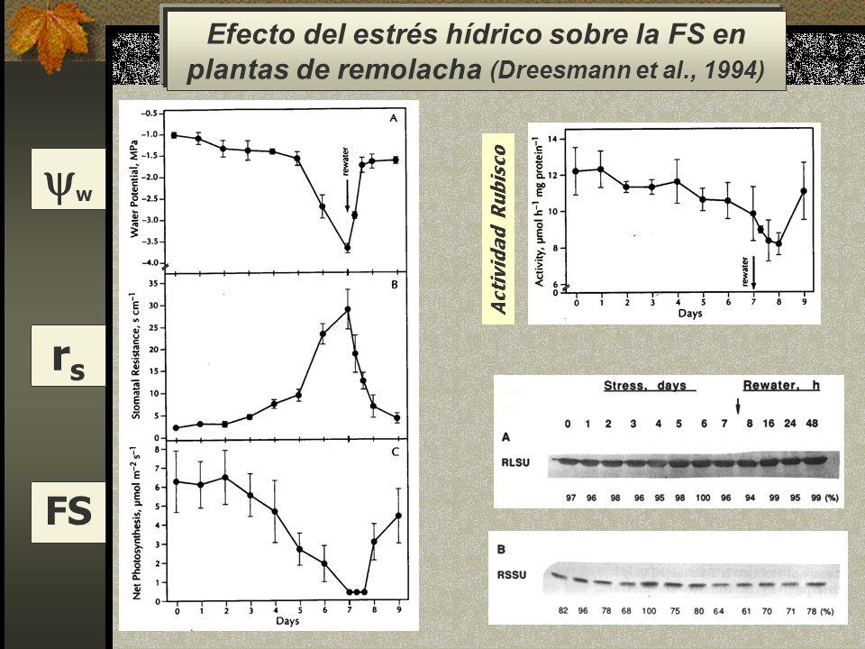 w rsrs FS Actividad Rubisco Efecto del estrés hídrico sobre la FS en plantas de remolacha (Dreesmann et al., 1994)